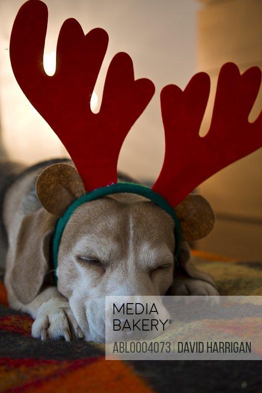 Sleeping Beagle Dog Wearing Christmas Antlers