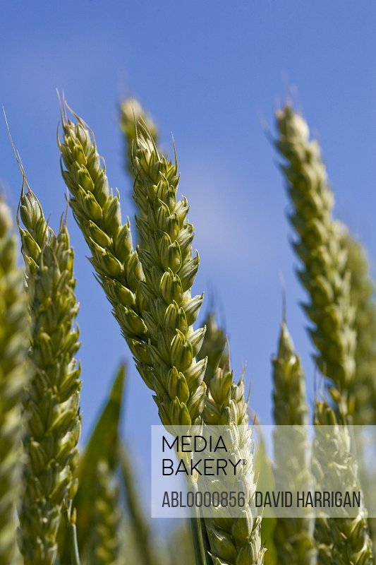 Close up of young green wheat stalks and blue sky