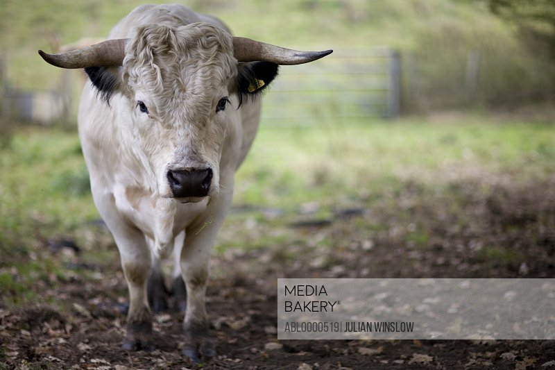 Black and white bull standing on field