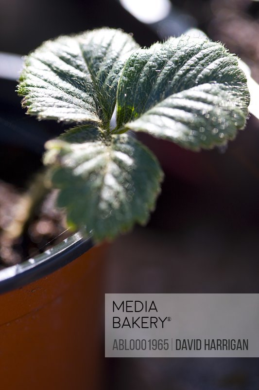 Close up of a strawberry plant leaves