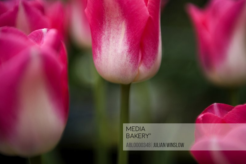 Bright pink and white tulips