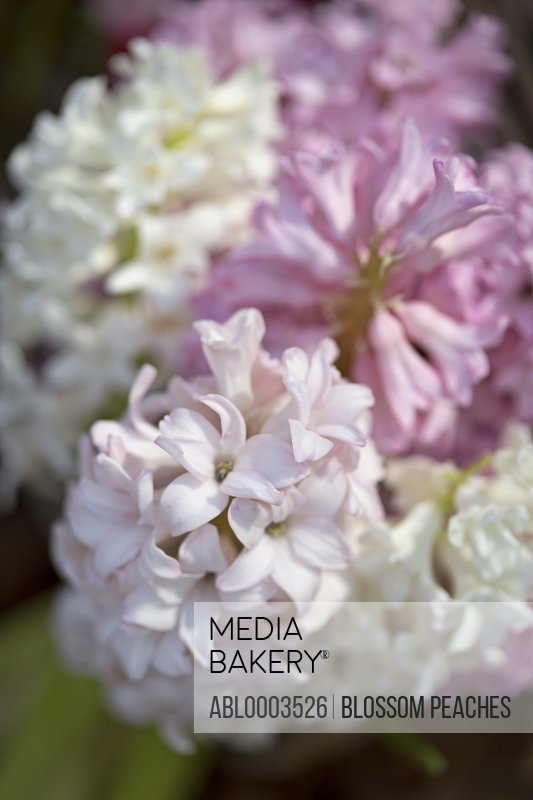 White and Pink Hyacinths Flowers, Close-up View