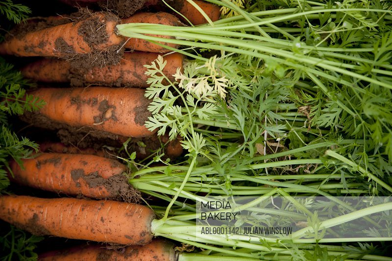 Close up of carrots covered in soil