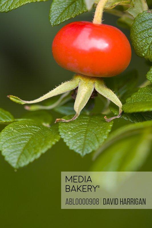 Close up of a rose hip