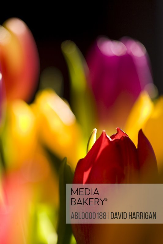 Close up of yellow and red tulips
