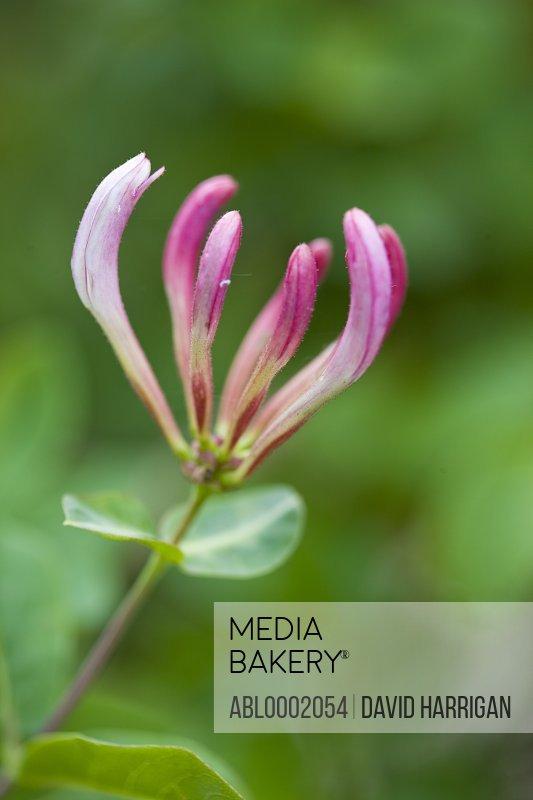 Honeysuckle Blossom, Lonicera
