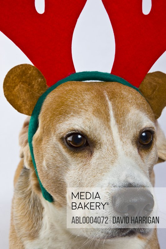 Beagle Dog Wearing Christmas Antlers