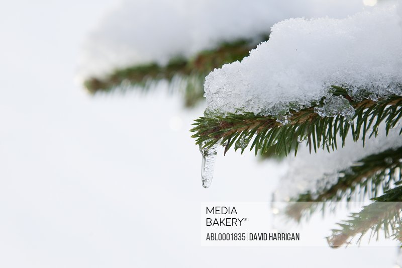 Snow covered fir tree branch with icicle