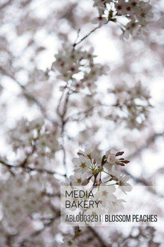 Cherry Blossom, Close-up View