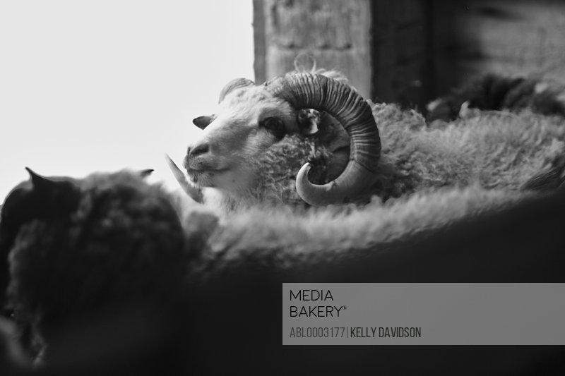 Ram in Barn