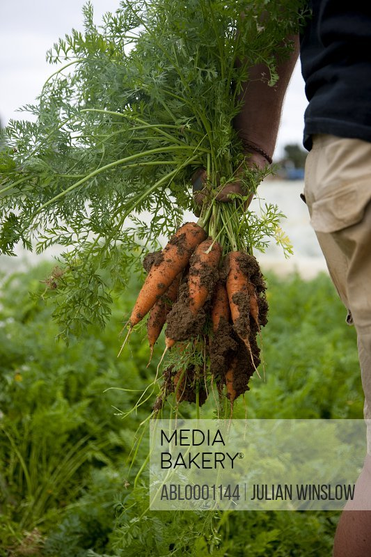 Close up of a farmer hand holding a bunch of carrots covered in soil