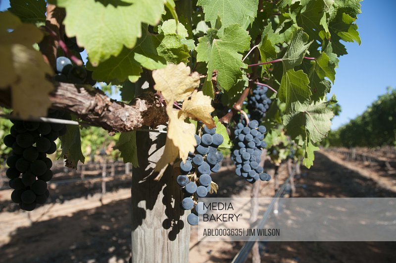 Black Wine Grapes on the Vine