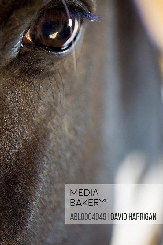 Close up of a horse head - Equus caballus