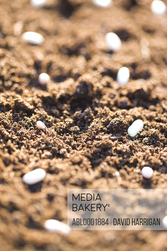 Pea seeds on soil