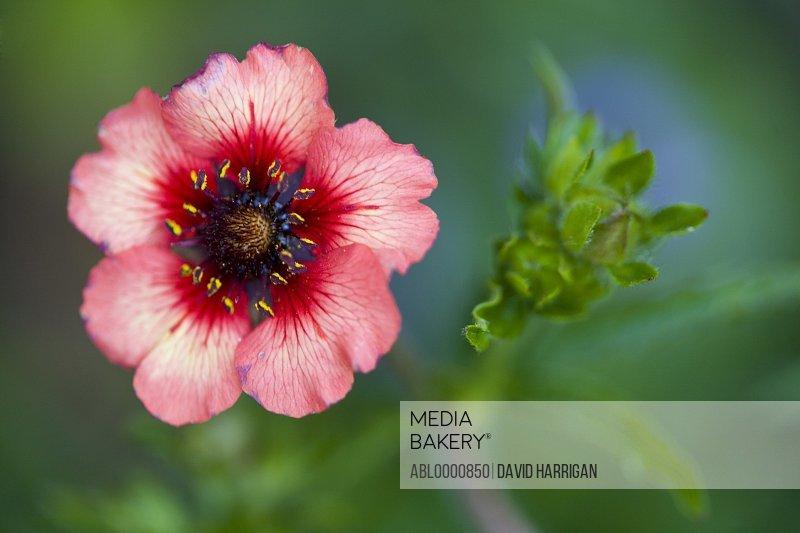 Red potentilla flower - Potentilla nepalensis