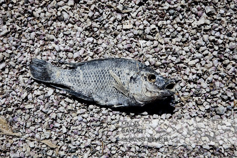 Dead Fish on Beach Gravel
