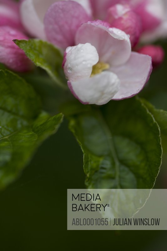 Bright pink and white apple blossom