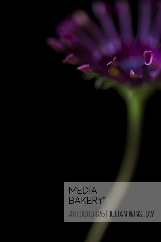 Dark pink Osteospermum