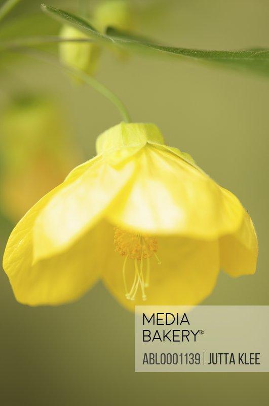 Close up of a canary bird blossom - Abutilon