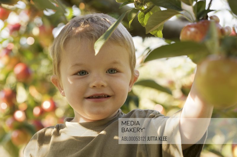 Close up of a smiling young boy picking an apple from an apple tree