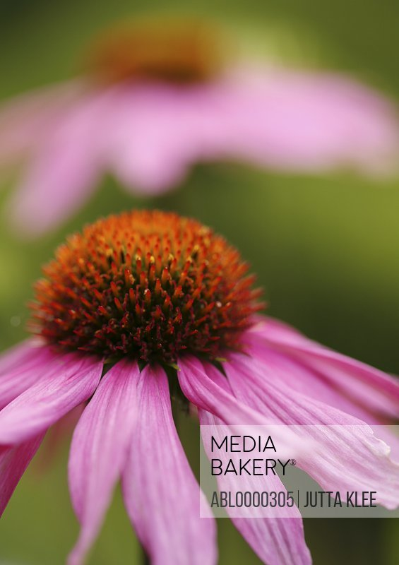 Close up of purple coneflower                               Echinacea purpurea