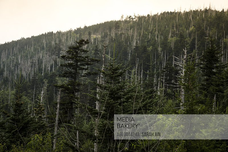 Spruce Fir Tree Forest, Great Smoky Mountains National Park, USA