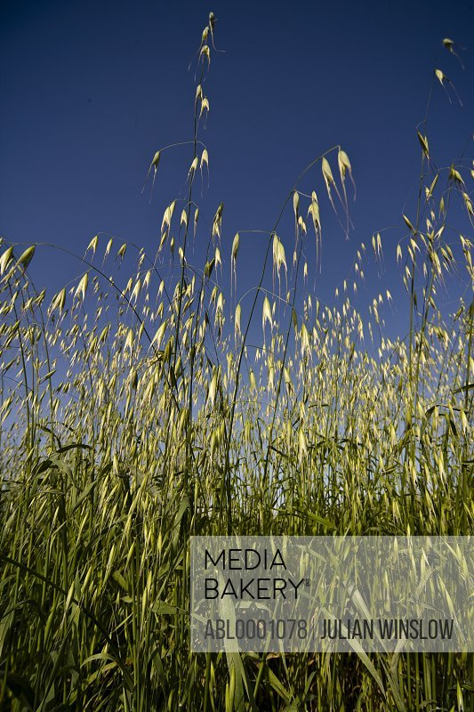Wild oat and blue sky - Avena fatua