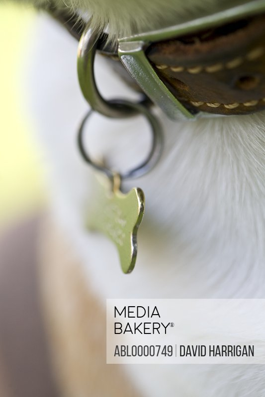 Extreme close up of dog collar and identification tag