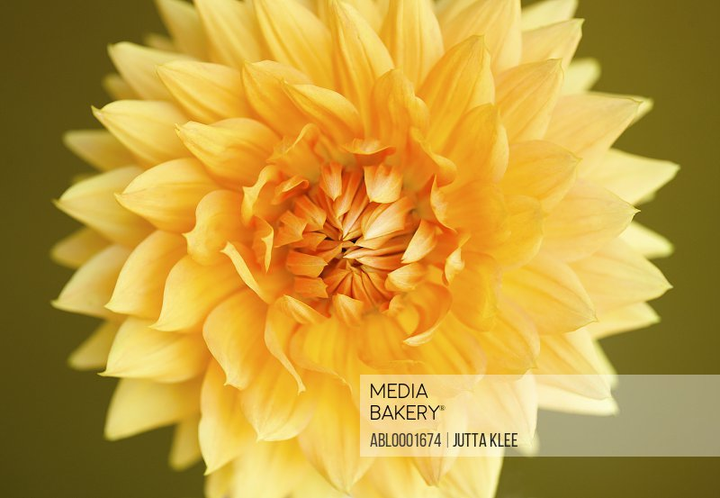 Extreme close up of a yellow dahlia