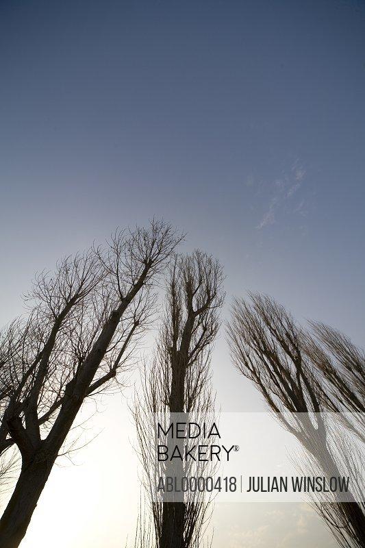 Poplars with blue sky (Populus)