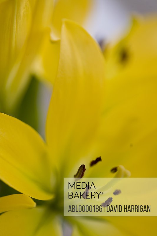 Extreme close up of a yellow lily