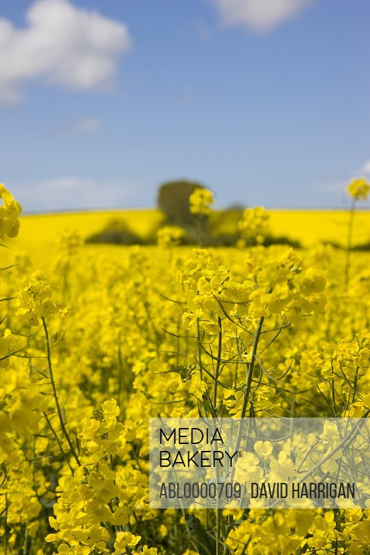 Rapeseed field and blue sky