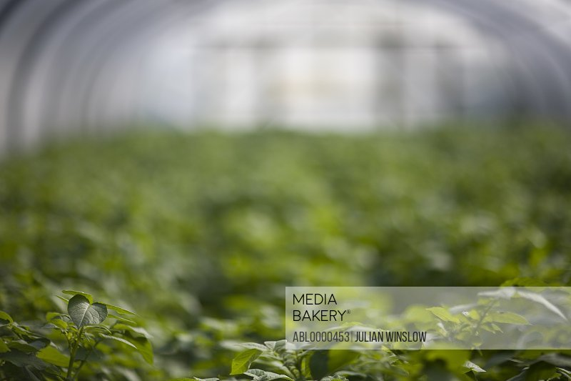 Potatoes plants in greenhouse