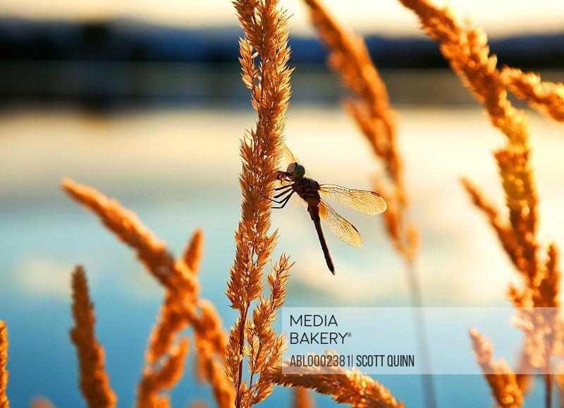 Dragonfly on Orange Wild Grass