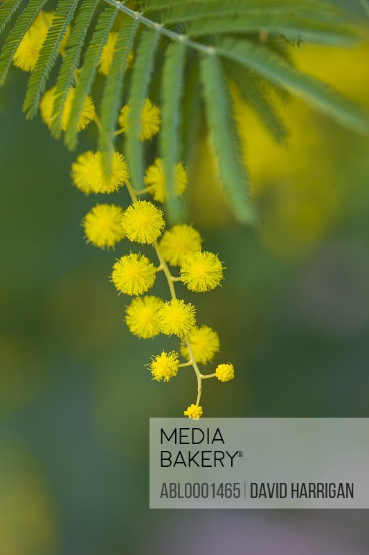 Extreme close up of mimosa tree blossom - Albizia julibrissin