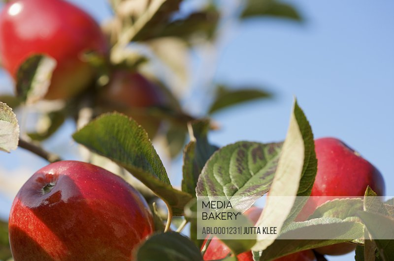 Close up of a bunch of red apples