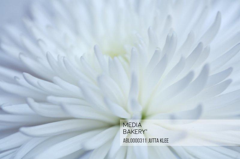 Extreme close up of a white  dahlia
