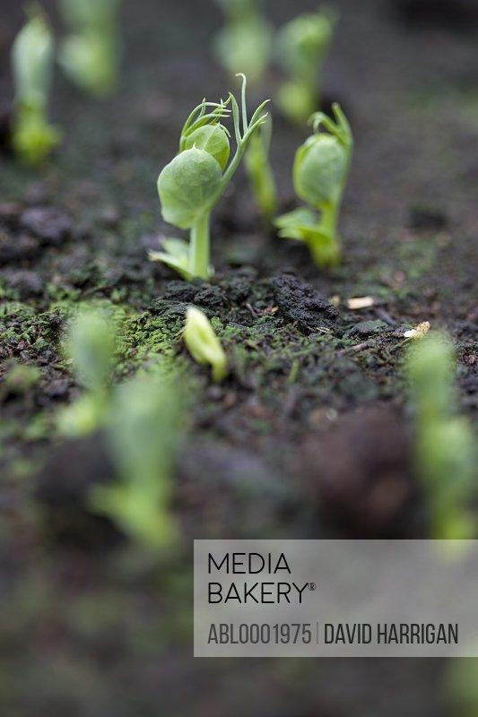 Close up of pea seedlings