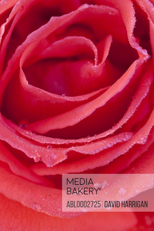 Rain Drops on Red Rose Petals