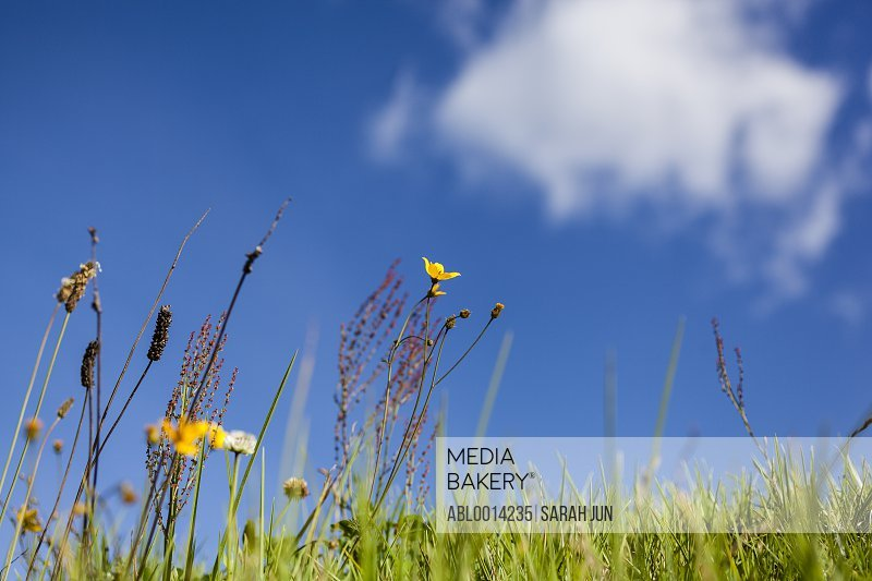 Wild Grass and Flowers against Blue Sky