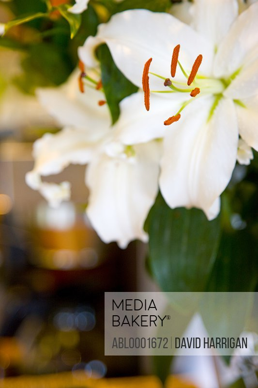 Close up of white lilies