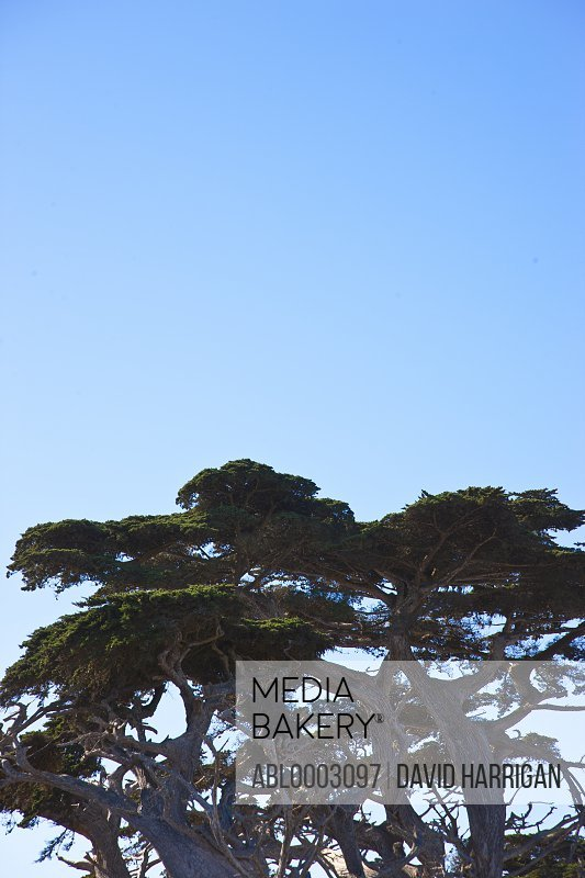 Cypresses against Blue Sky