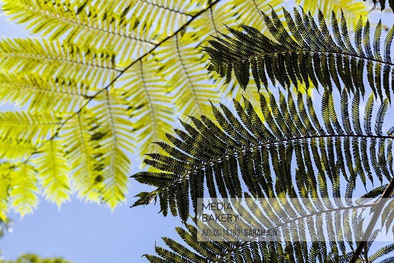 Fern Tree Fronds against Blue Sky