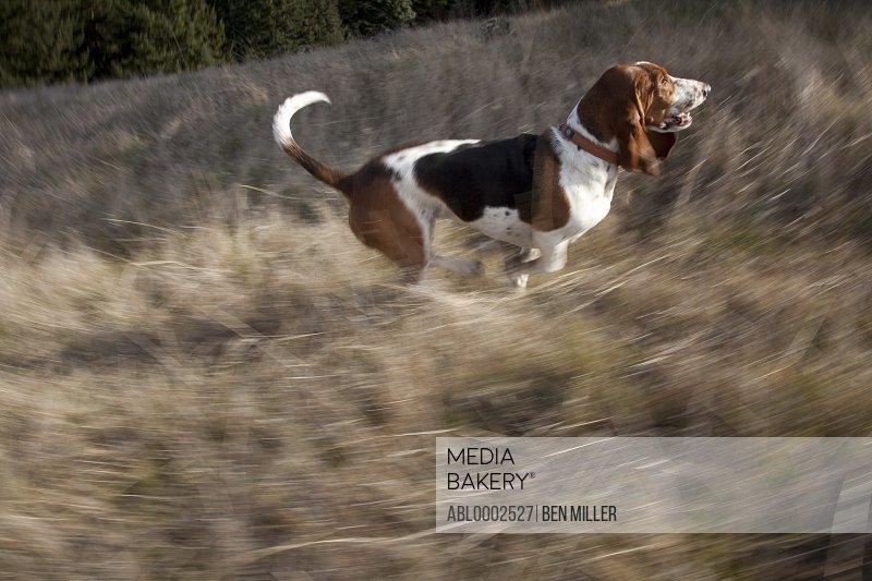 Basset Hound Dog Walking in Field