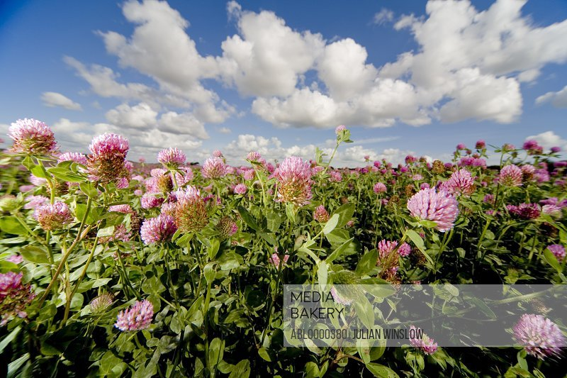 Field of pink flowers with blue sky