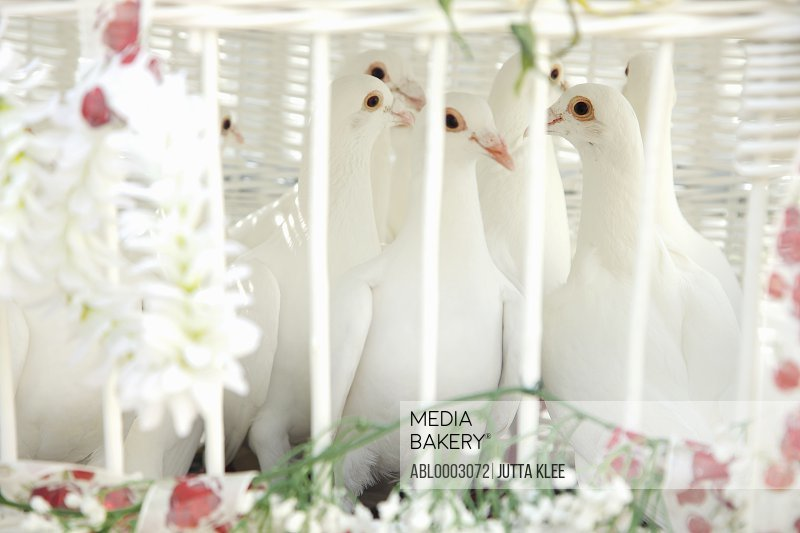 Wedding Doves in Birdcage