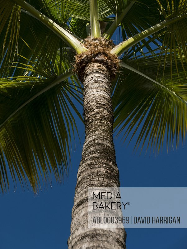 Close up of a Coconut Palm Tree, Low angle view