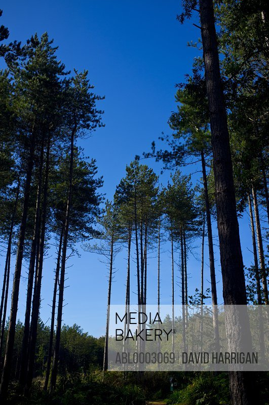 Pine Trees against Blue Sky