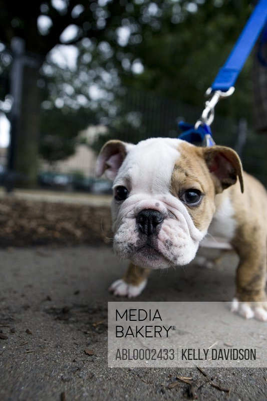 Bulldog Puppy on Leash