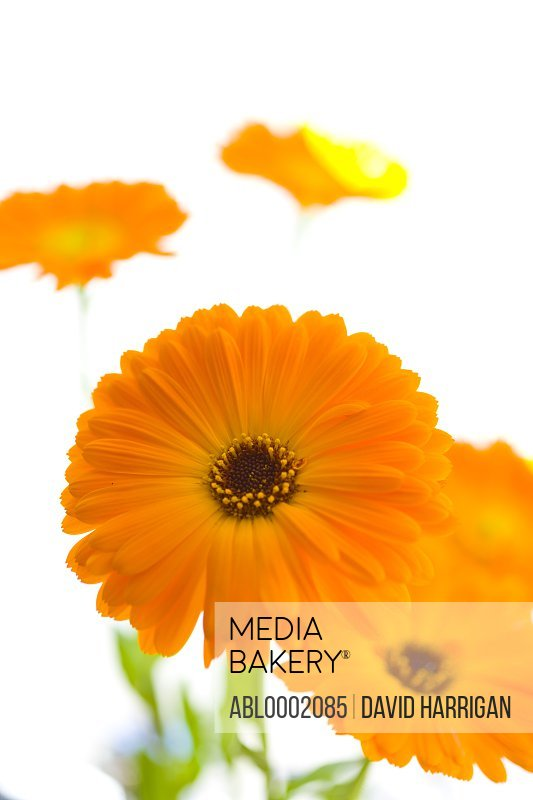 Orange Marigold Flowers, Calendula